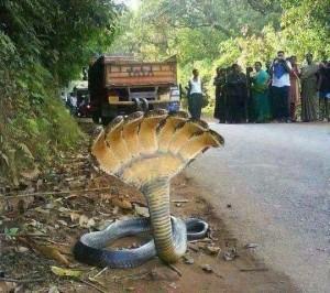 7-headed cobra, Photoshopped
