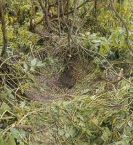 Gorila ground nest close to yowie