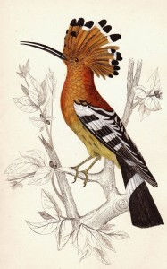 Hoopoe, 1840 hand-coloured engraving