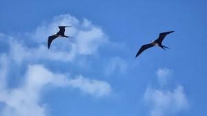 Magnificent frigate birds, David Adam Kess-Wikipedia