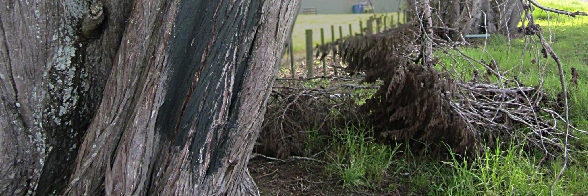 The Mason Road Tree