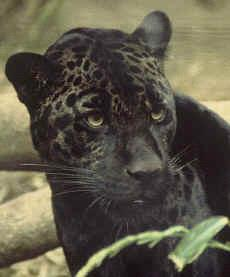 New Zealand Panther