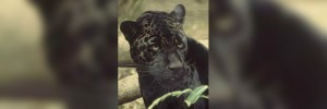 New-Zealand-South-Island-Panther