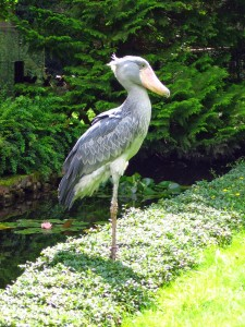 Shoebill, Wikipedia