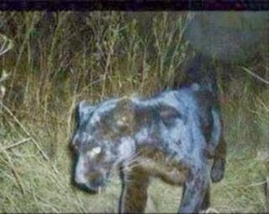 South African captive black panther