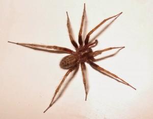 Tegenaria domestica, a funnel-weaving spider, pub dom