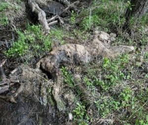 cougar-carcass