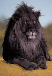 photoshopped_black_lion