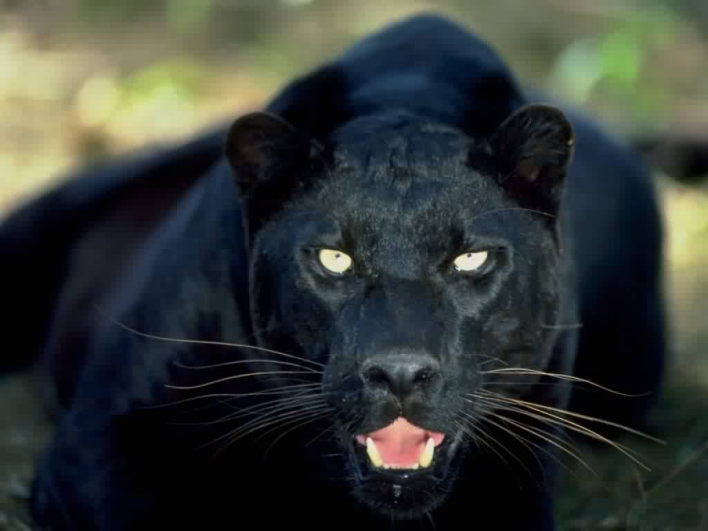 Tracking the Carrabelle Cat: Florida's black panther mystery